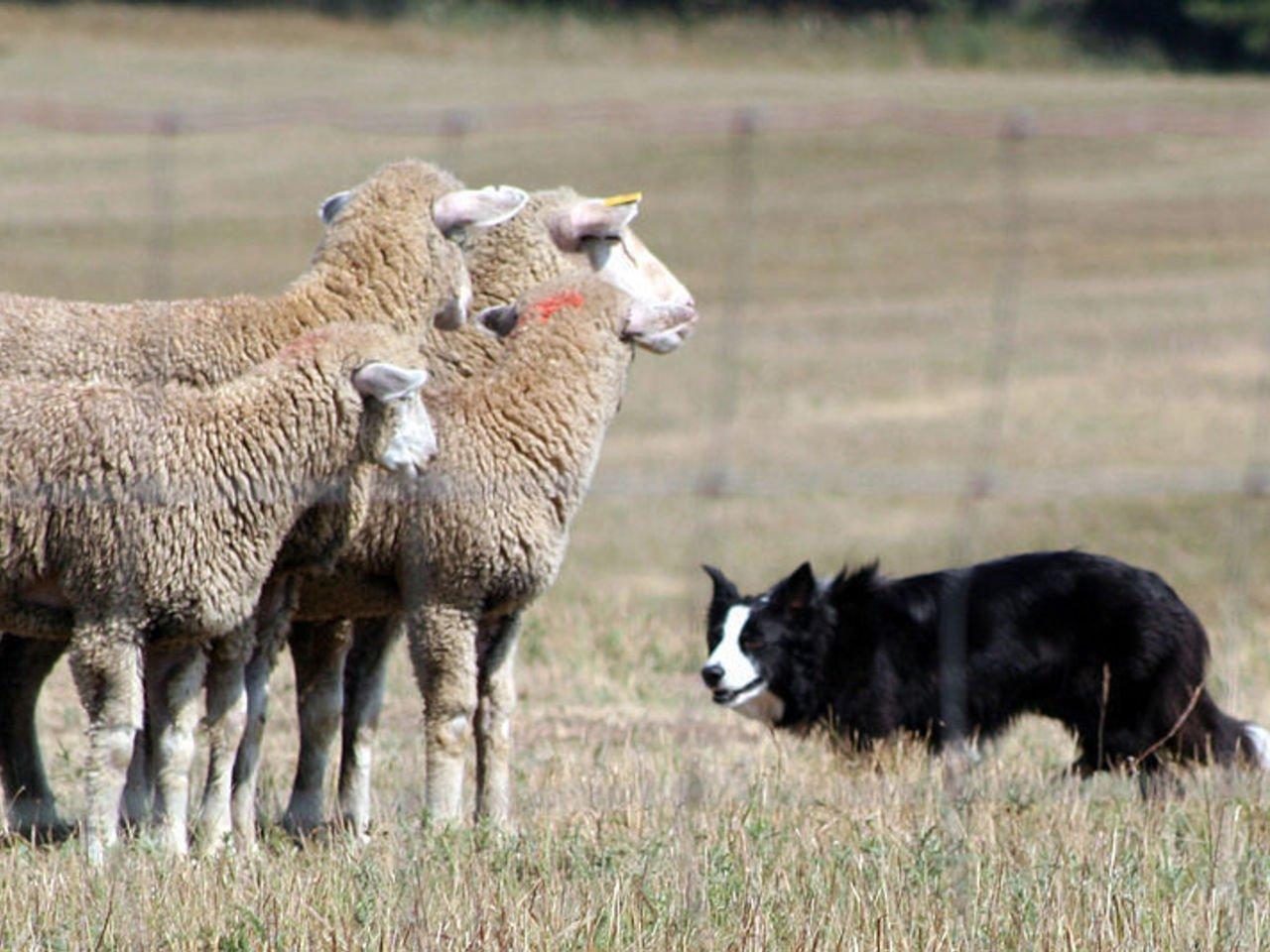 SHEPHERD (Sheep Herding, Electronic Protector, and Hazard Encountering Robotic Defender.)