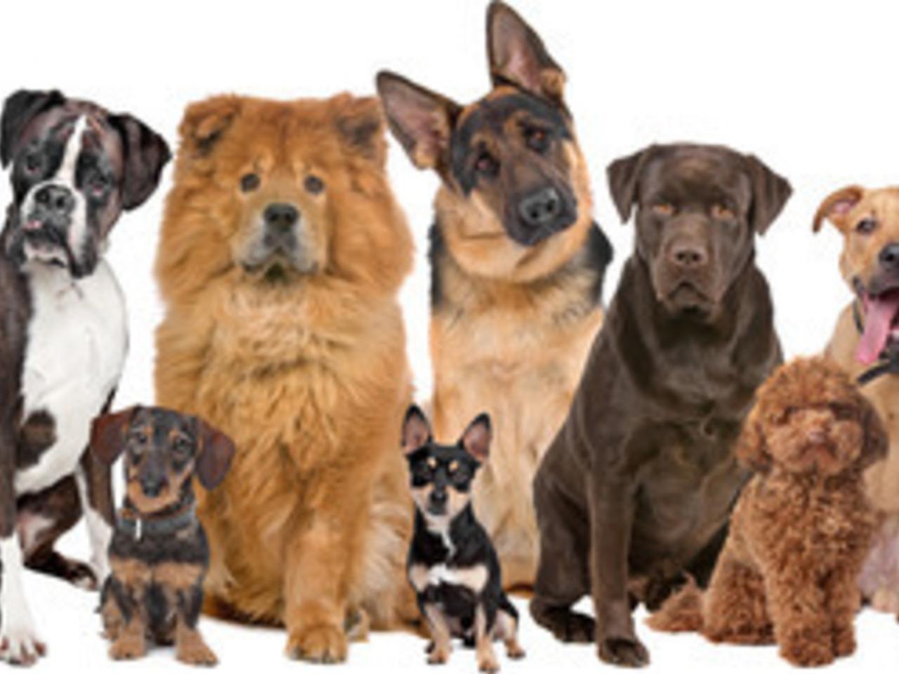 Dog Breed Identifier
